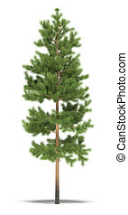 Pine five metres on a white background. It's 3D image.