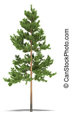 Pine seven metres on a white background. It's 3D image.