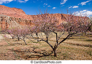 Orchards at Lonely Dell Ranch Historic Site - Spring flowers...
