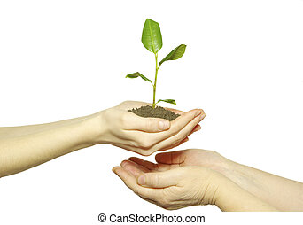 sapling - Hands holding sapling in soil on white...