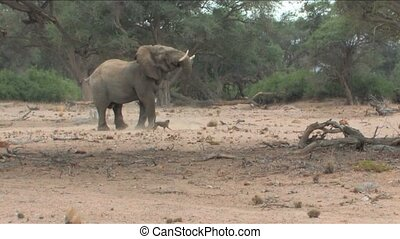 Desert Elephant and dogs in Namibia - Sheep dogs protecting...