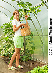 girl is picking cucumber - young girl is picking cucumber in...