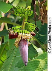 Banana blossom on tree in garden with daylight