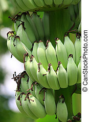 Banana unripe on tree in nature