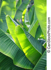 Banana leaf - green Banana leaf in nature with daylight