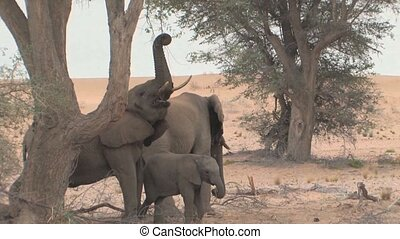 Desert Elephants in Namibia - Desert Elephants with a...
