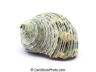Shell isolated on white