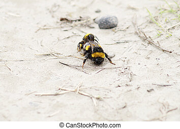 Bee copulation - Close-up a two bees in a sexual act on the...