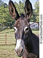 Cute Donkey - A donkey in a pasture with a cute expression....
