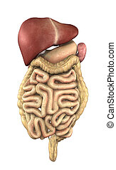 Internal Organs - Digestive Tract - 3D render depicting the...