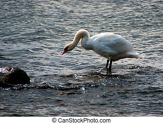 Lonely swan. - Hooked neck in aggressive swan against grey...