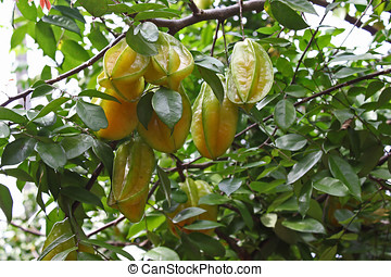 Star Fruit - Star fruit tree,Star fruit also known as...
