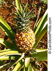 Pineapple Plant - Pineapple plant and fruit,Jayuya Puerto...