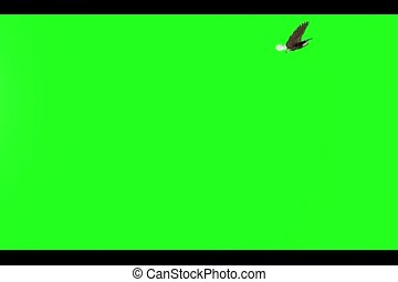 Bald Eagle Green Screen - Illustrated Bald eagle flying over...