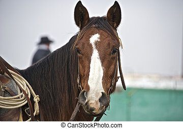 An American Quarter Horse is used in Rodeo competition
