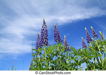 blue lupines on celestial background