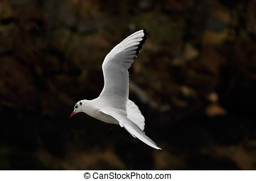Little gull - Beautiful white little gull in flight near a...