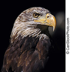 AMERICAN BALD EAGLE - Shot outdoors, This eagle was shot...