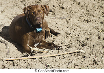 Chillen Dog - A brown dog just chilling in the dirt.