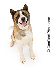 Akita Dog Sitting and Looking Forward - An Akita dog sitting...