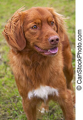 Nova Scotia Duck Tolling Retriever. - Rare breed of dog,...