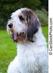 Grand Basset Griffon Vendeen - Rare French breed of dog,...