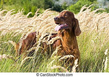 Irish Setter in high grass. - Irish Setter standing in high...