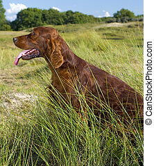 Irish Setter in high grass. - Irish Setter sitting in high...