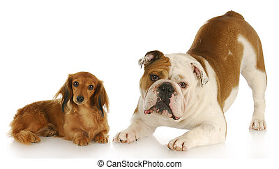 two cute dogs - dachshund and english bulldog looking at...