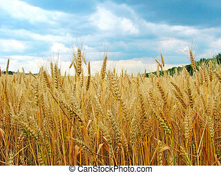 The wheat field. The view of the ripe ears