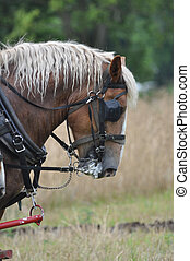 Belgian Draft Horse working hard - Belgian Draft Horse...