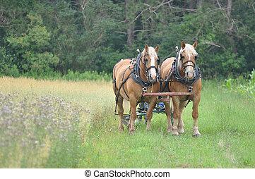 caballo, resto, bosquejo, equipo, yeguas, belga
