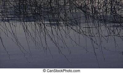 Reeds on lake