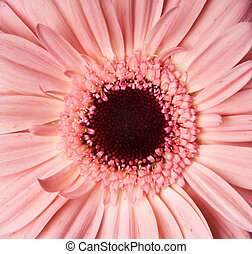 African daisy - beautiful African daisy, background, macro