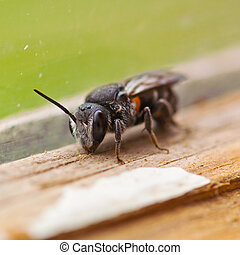 bee - insect, black bee, macro closeup