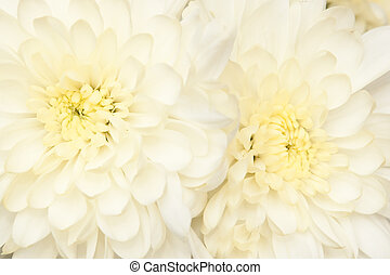 flower - beautiful bouquet with  chrysanthemum, background
