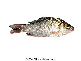 carp fish isolated on white background