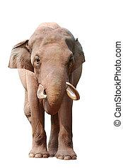動物, 大象