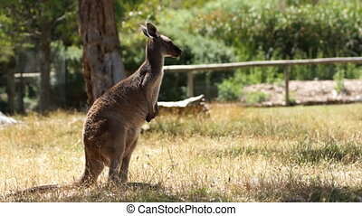 Slow kangaroo - Old kangaroo is going slow