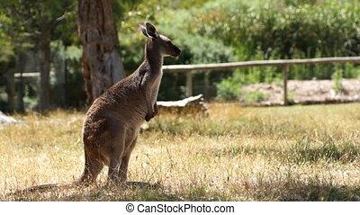 Slow kangaroo - Old kangaroo is going slow