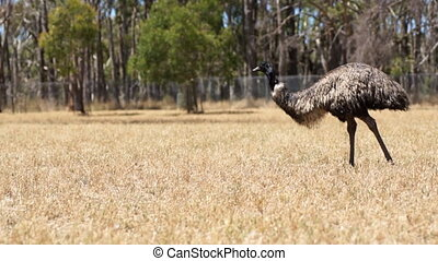 Ostrich is walking thru the grass field