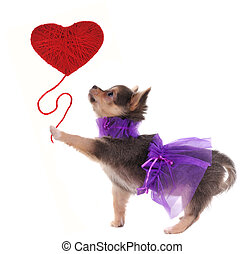 Romantic chihuahua puppy holding red heart in her paw...