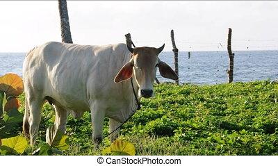 bull grazing Caribbean Nicaragua - cow bull grazing rural...