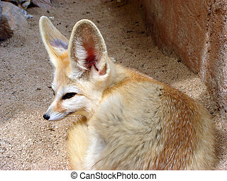 Fennec fox - Closeup fennec fox (vulpes zerda) lying on the...