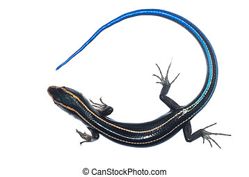 blue tail skink lizard isolated