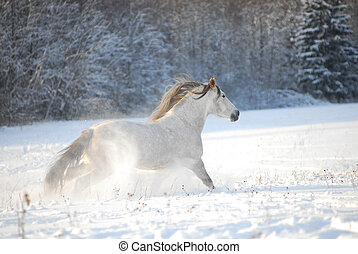Grey andalusian horse through gallops the snow - Grey...