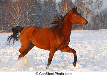 Proud red arabian horse on a snow-covered field in sunset...