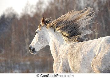 Grey horse gallops through the snow