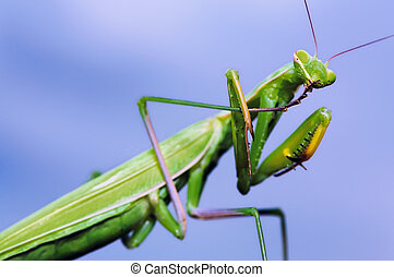 Green mantis washing itself on blue sky background