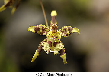 Amazon Orchid - Beautiful orchid photographed on the amazon...